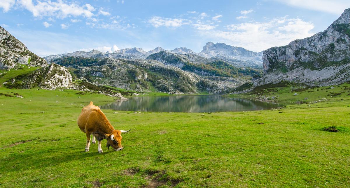 Lagos de Covadonga con una vaca pasturando en primera línea