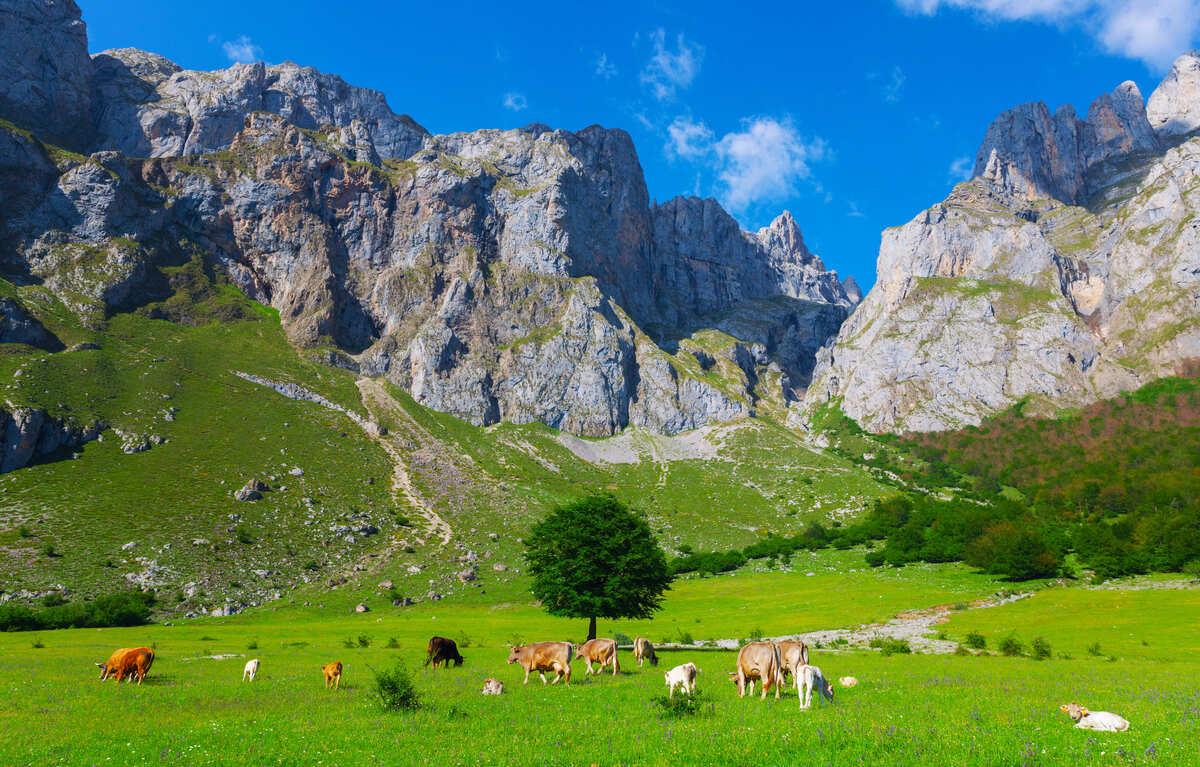 Vista panorámica de los Picos de Europa en Asturias con vacas pasturando en frente