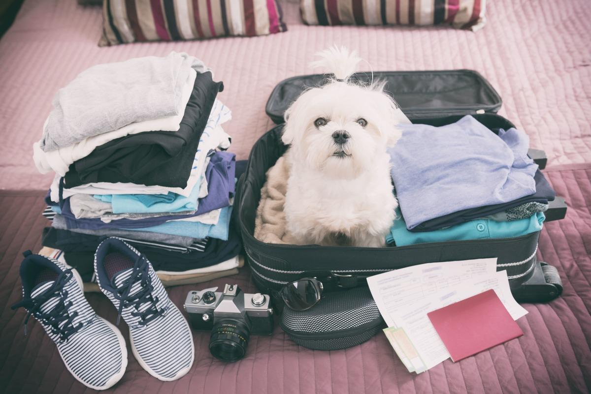 Perro blanco dentro de una maleta lista para viajar